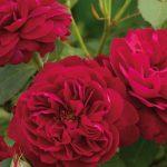 róże wielkokwiatowe do przydomowych ogrodów