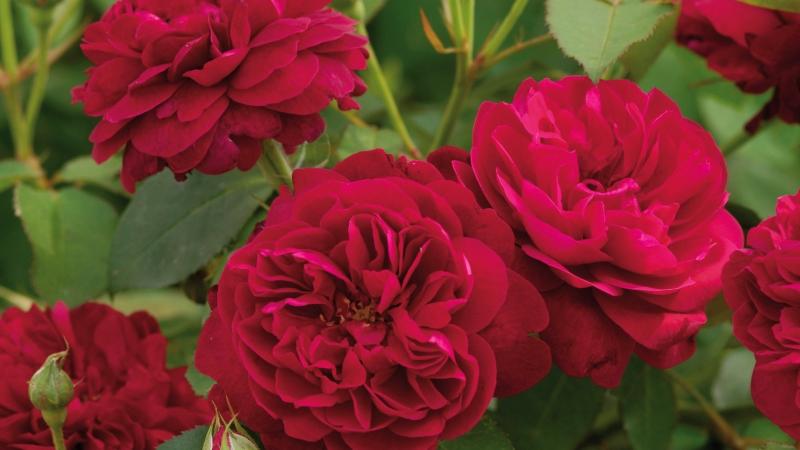Róże wielkokwiatowe czy może pnące?